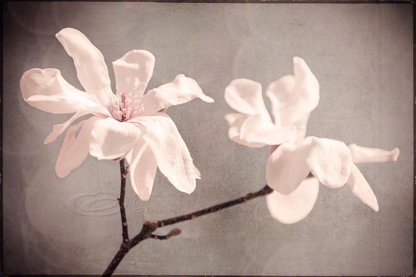 Flower Photo White Magnolia Home Decor Big Wall Art 20x30 Print On
