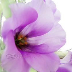 "Flower Photo, macro photo, purple dreaming, spring time, bloom 8 x10"""
