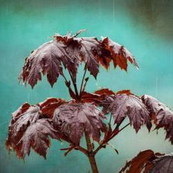"Rain photo spring raindrops maple home decor teal 8x10"" print"